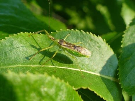 pale green assassin bug animals  northern  york
