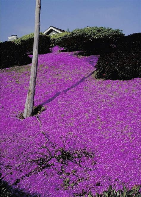 colorful ground cover 168 best images about flowering trees colorful grass
