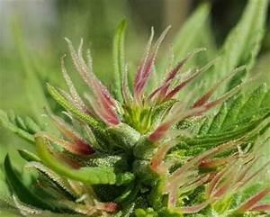 How to Grow Purple Cannabis Buds (or Pink!) | Grow Weed Easy