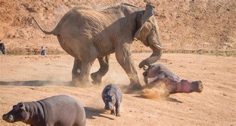 Depredadores Y Amenazas De Los Hipopótamos