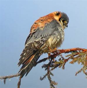 Bird Lore: American Kestrel - My Edmonds News  Bird