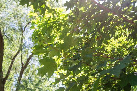 black maple purdue fort wayne