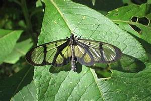Mariposa del Tomate de Árbol (Thyridia psidii) - EcoRegistros