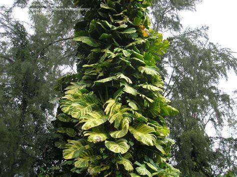 Plantfiles Pictures Devil's Ivy, Golden Pothos, Centipede