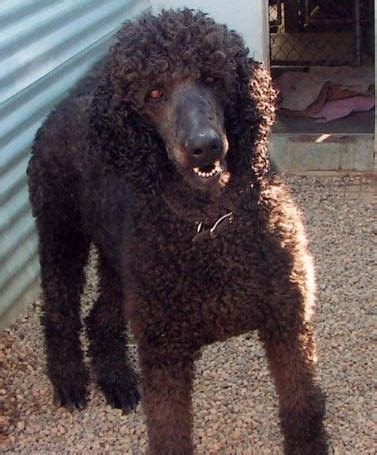 funny animals brown poodle dogs funny pictures
