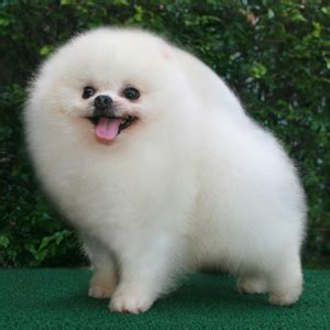 bailey  white pomeranian    smile