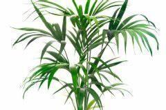 Kentia Palme Braune Blätter : kentia palme hat trockene bl tter ursachen und ma nahmen ~ Watch28wear.com Haus und Dekorationen