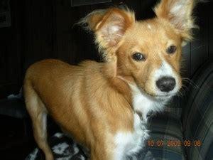 boudreaux  rat terrier yorkshire terrier mix allmuttcom
