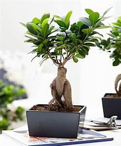 Bonsai Ficus Ginseng : koop nu kamerplant bonsai ficus m inclusief sierpot 39 ginseng 39 ~ Buech-reservation.com Haus und Dekorationen