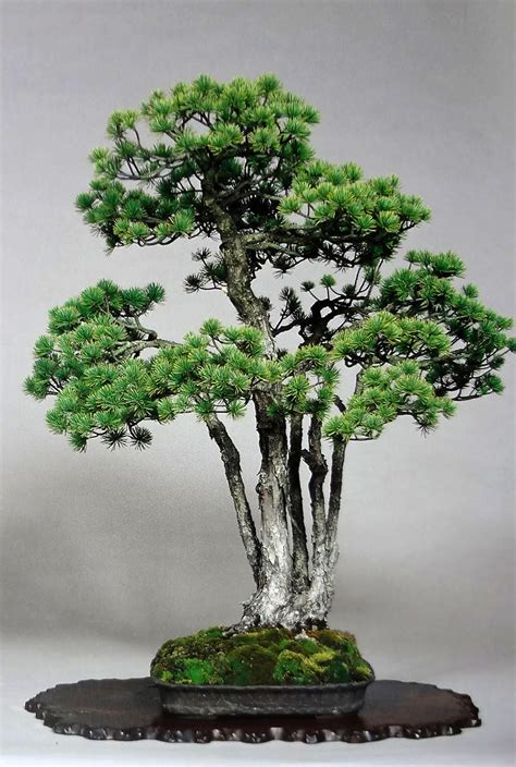 7 เรื่องเกี่ยวกับบอนไซที่คุณอาจไม่เคยรู้..!! - ต้นไม้และสวน