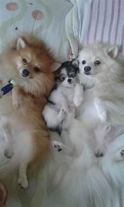 2150 best Pomeranian (Pomimo Dogs a mix of American Eskimo ...
