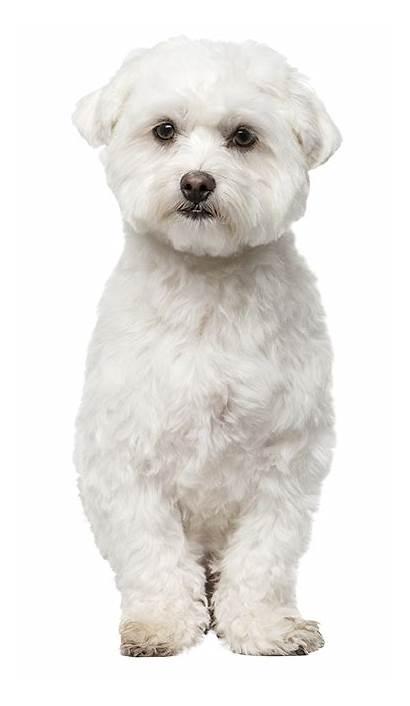 Dog Maltese Cut Teddy Bear Dogs Haircuts