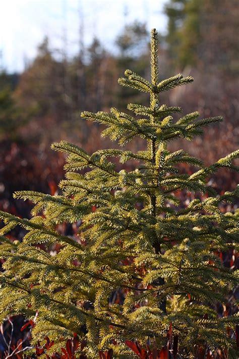 black spruce eek wisconsin