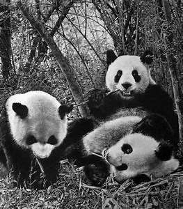 panda_by_paullung-d5v8wsh.jpg