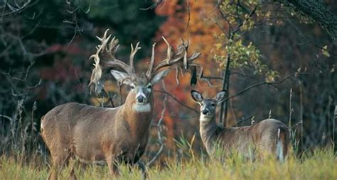 biggest whitetail bucks   dead