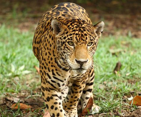 Jaguar Picture by Jaguar Island Xcaret Park Official Site