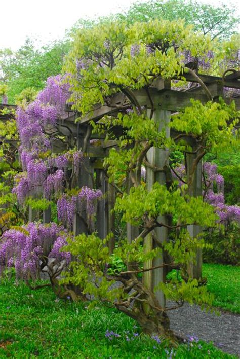 small wisteria wife mother gardener wisteria at longwood thoughts on wisteria in small gardens