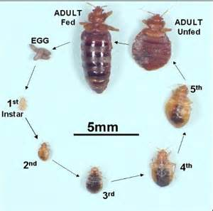 Carpet Beetle How To Get Rid Of by Bed Bug Treatment Minneapolis St Paul Pest Control Mn