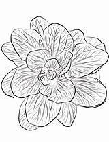 Spinach Coloring Pages Drawing Printable Nata Categories Getdrawings sketch template