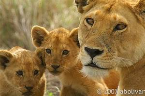 Lioness And Her Lion Cubs Serengeti Np Tanzania Africa