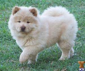 White Chow Chow Puppies   www.pixshark.com - Images ...