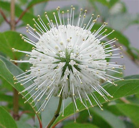 Button Bush or Buttonbush (Cephalanthus occidentalis ...