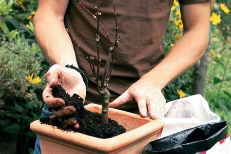 acero giapponese in vaso acero giapponese come coltivarlo in vaso guida giardino