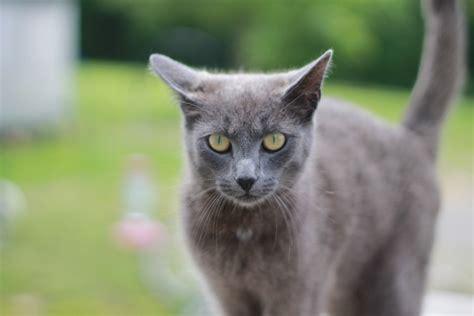 Gray Cat, Staring, Green Eyes, Cat