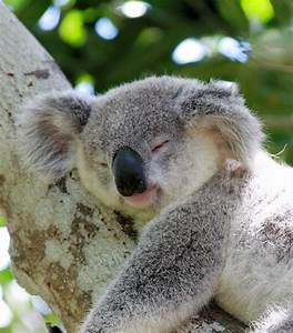 Sleeping Koala bear. | Teddy Bears | Pinterest