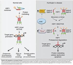 Cellular quality control process could be Huntington's ...