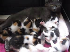 Pictures of Calico Cats and Kittens