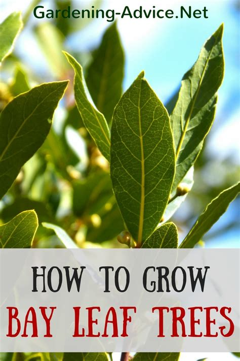 how to plant trees the bay leaf plant how to grow a bay leaf tree as a culinary herb