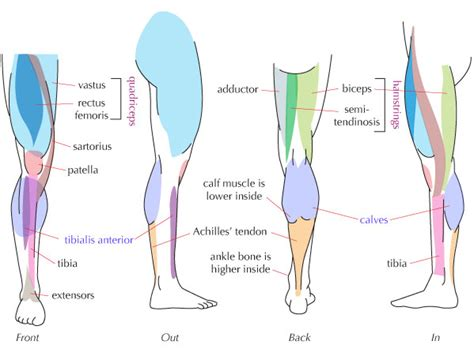 There is a printable worksheet available for download here so. Human Leg Muscle Anatomy - Health Images Reference