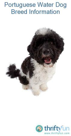 non shedding dogs on pinterest portuguese water dog