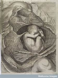 L0038228 Diagram Of A Fetus  Lying On Its Side  In An Opened Womb  U2013 Early Modern Medicine