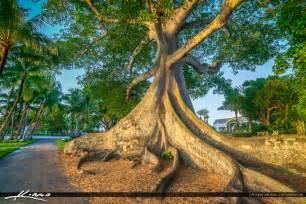 Kapok Tree Palm Beach