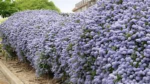 Garten Sichtschutz Pflanzen : pflanzen als sichtschutz unsere top 15 f r garten balkon plantura ~ Watch28wear.com Haus und Dekorationen