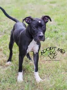 Black Pitbull Boxer Mix   Pitbull dog breed, Pitbulls ...