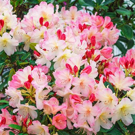spring hill nurseries   pot percy wiseman rhododendron
