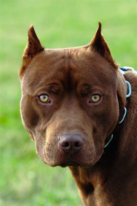 monroes  dangerous dogs news poconorecordcom