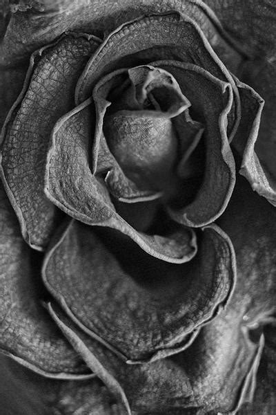 Black and white photographs of dead flowers – Keith Dotson