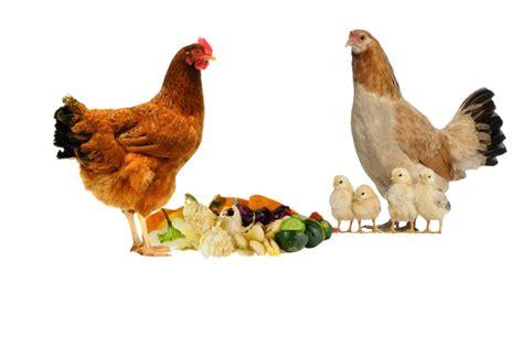 quels d 233 chets de cuisine pour les poules poulailler bio