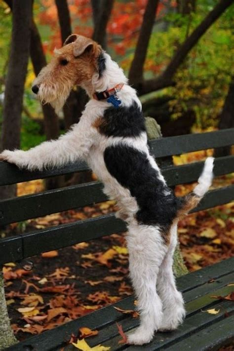 terrier fox wire haired terriers wirehaired dog dogs markings pretty scottish puppies airedale welsh wired fur foxterrier jack mix perro