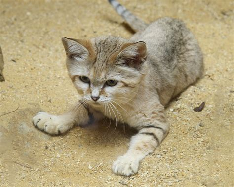 Sand  Ee  Cat Ee   Debuts At Smithsonians National Zoo P O