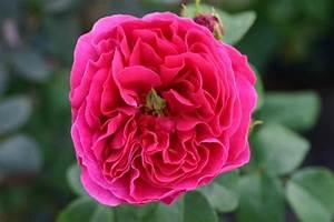 Rosen Kaufen Günstig : othello und andere rosen kaufen sie g nstig im online shop von rosen ~ Markanthonyermac.com Haus und Dekorationen