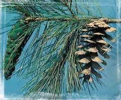 fiche m騁ier cuisine pin weymouth conseil jardinage application en phytothérapie et recette de cuisine