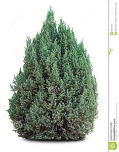 small evergreen tree on white royalty free stock images image 26959259