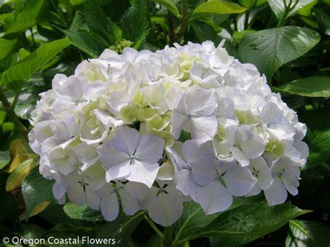 white hydrangeas oregon coastal flowers