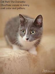American Domestic Shorthair Cat