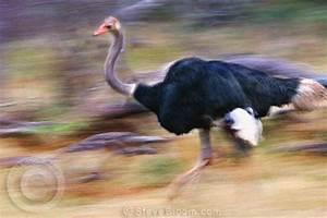 Ostriches Running Speed | www.pixshark.com - Images ...